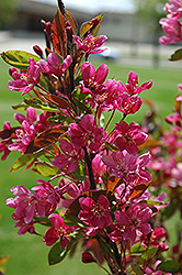 Almey Flowering Crab (Malus 'Almey') at Arrowhead Nurseries Ltd.