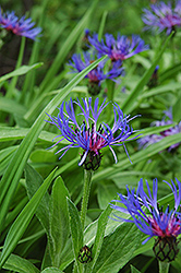 Mountain Bluet (Centaurea montana) at The Mustard Seed
