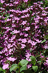 Rock Soapwort (Saponaria ocymoides) at The Mustard Seed