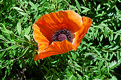 Oriental Poppy (Papaver orientale) at The Mustard Seed