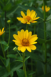 False Sunflower (Heliopsis helianthoides) at Arrowhead Nurseries Ltd.