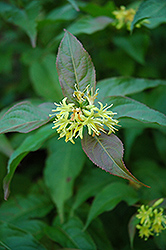 Bush Honeysuckle (Diervilla lonicera) at Arrowhead Nurseries Ltd.