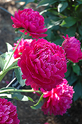Paul Wild Peony (Paeonia 'Paul Wild') at The Mustard Seed