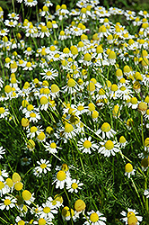 Chamomile (Matricaria recutita) at The Mustard Seed