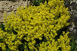 Golden Moss Stonecrop (Sedum acre) at The Mustard Seed
