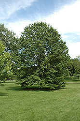 Northern Pin Oak (Quercus ellipsoidalis) at The Mustard Seed