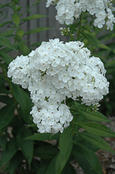 David Garden Phlox (Phlox paniculata 'David') at The Mustard Seed