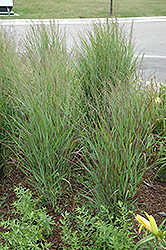 Shenandoah Reed Switch Grass (Panicum virgatum 'Shenandoah') at Green Haven Garden Centre