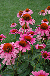 Ruby Star™ Coneflower (Echinacea purpurea 'Rubinstern') at The Mustard Seed