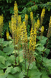 The Rocket Rayflower (Ligularia 'The Rocket') at The Mustard Seed
