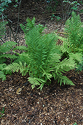 Lady Fern (Athyrium filix-femina) at The Mustard Seed