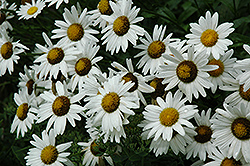 Alaska Shasta Daisy (Leucanthemum x superbum 'Alaska') at The Mustard Seed