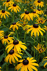 Goldsturm Coneflower (Rudbeckia fulgida 'Goldsturm') at Bartlett's Farm