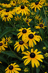 Indian Summer Coneflower (Rudbeckia hirta 'Indian Summer') at Bartlett's Farm