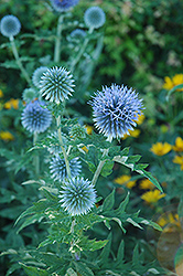 Globe Thistle (Echinops ritro) at Bartlett's Farm