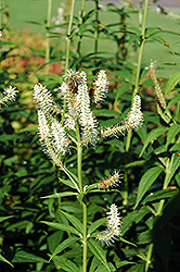 Culver's Root (Veronicastrum virginicum) at The Mustard Seed