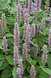 Blue Fortune Anise Hyssop (Agastache 'Blue Fortune') at Bartlett's Farm