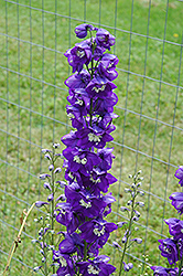 Blue Fountains Larkspur (Delphinium 'Blue Fountains') at The Mustard Seed