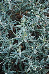 Blue Ice Bog Rosemary (Andromeda polifolia 'Blue Ice') at Eagle Lake Nurseries
