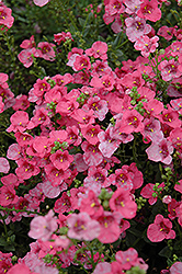 Darla Rose Twinspur (Diascia 'Darla Rose') at Flagg's Garden Center