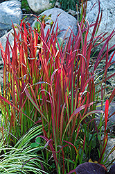 Red Baron Japanese Blood Grass (Imperata cylindrica 'Red Baron') at Green Haven Garden Centre