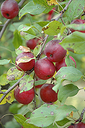 Kerr Apple-Crab (Malus 'Kerr') at Green Haven Garden Centre