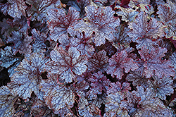 Plum Pudding Coral Bells (Heuchera 'Plum Pudding') at Bachman's Landscaping