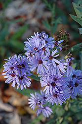 Smooth Aster (Aster laevis) at The Mustard Seed