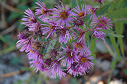 New England Aster (Aster novae-angliae) at Bachman's Landscaping