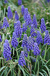 Grape Hyacinth (Muscari armeniacum) at Bartlett's Farm