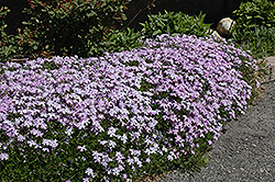 Emerald Blue Moss Phlox (Phlox subulata 'Emerald Blue') at The Mustard Seed