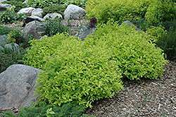 Goldmound Spirea (Spiraea japonica 'Goldmound') at The Mustard Seed
