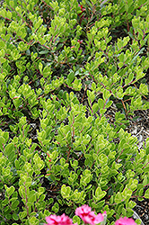 Bearberry (Arctostaphylos uva-ursi) at Arrowhead Nurseries Ltd.