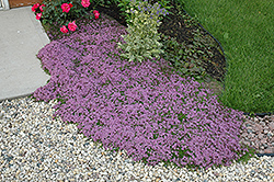 Red Creeping Thyme (Thymus praecox 'Coccineus') at Bachman's Landscaping