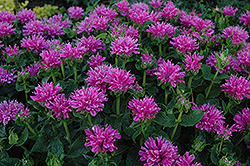 Petite Delight Beebalm (Monarda 'Petite Delight') at The Mustard Seed