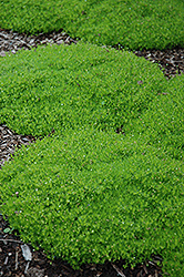 Irish Moss (Sagina subulata) at Dundee Nursery