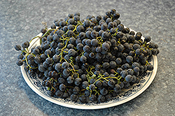 Frontenac Grape (Vitis 'Frontenac') at The Mustard Seed