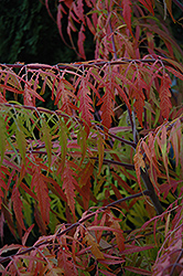 Tiger Eyes® Sumac (Rhus typhina 'Bailtiger') at The Mustard Seed