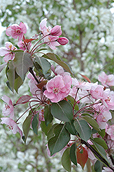 Selkirk Flowering Crab (Malus 'Selkirk') at Arrowhead Nurseries Ltd.