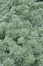 Silver Mound Artemesia (Artemisia schmidtiana 'Silver Mound') at Flagg's Garden Center