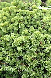 Little Gem Spruce (Picea abies 'Little Gem') at The Mustard Seed