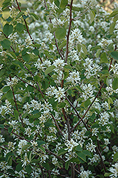 Pembina Saskatoon (Amelanchier alnifolia 'Pembina') at Arrowhead Nurseries Ltd.