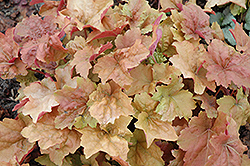 Dolce® Creme Brulee Coral Bells (Heuchera 'Tnheu041') at Bartlett's Farm