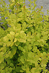 Golden Carousel Japanese Barberry (Berberis 'Bailsel') at Flagg's Garden Center