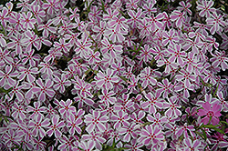 Candy Stripe Moss Phlox (Phlox subulata 'Candy Stripe') at The Mustard Seed