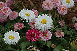 Bright Carpet Mix English Daisy (Bellis perennis 'Bright Carpet Mix') at The Mustard Seed