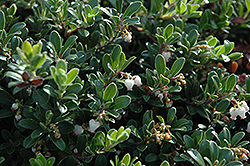 Massachusetts Bearberry (Arctostaphylos uva-ursi 'Massachusetts') at Bartlett's Farm