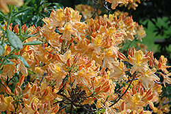 Golden Lights Azalea (Rhododendron 'Golden Lights') at The Mustard Seed