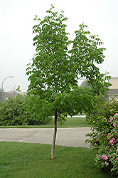 Northern Treasure Hybrid Ash (Fraxinus 'Northern Treasure') at Arrowhead Nurseries Ltd.