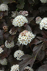 Diablo Ninebark (Physocarpus opulifolius 'Diablo') at The Mustard Seed